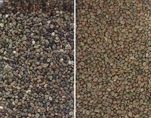 coffee bean sorting