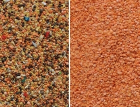 lentil sorting