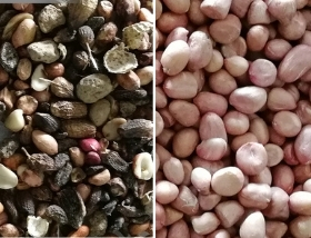 peanut sorting