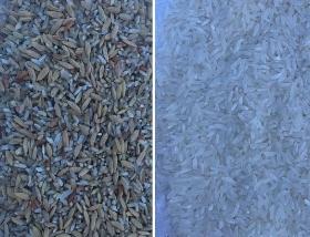 white rice sorting